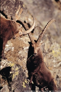 Switzerland celebrates the centenary of the ibex reintroduction in the Alps